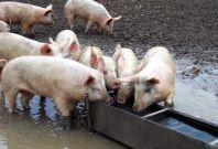 Pigs trough
