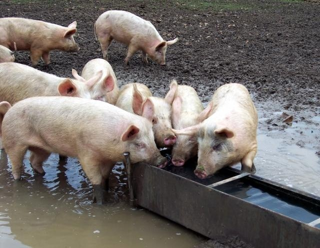 Pigs trough