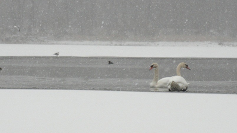 Swans in Arlington, Massachusetts, near BostonPIC: ArlingtonPatch