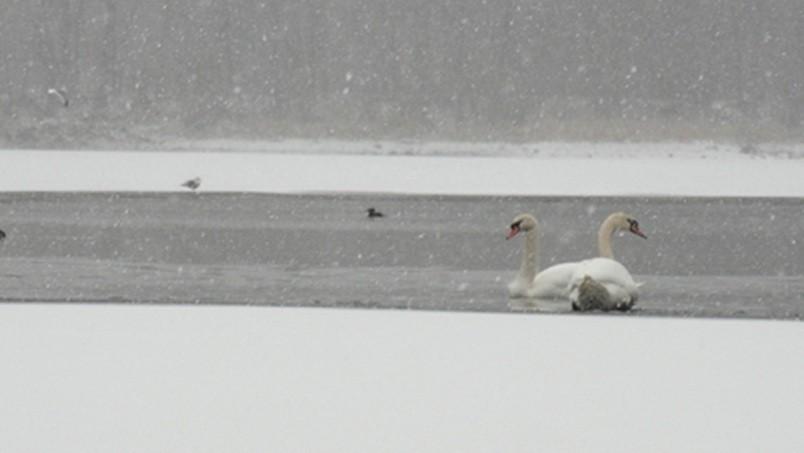 Swans in Arlington, Massachusetts, near BostonPIC: ArlingtonPatch
