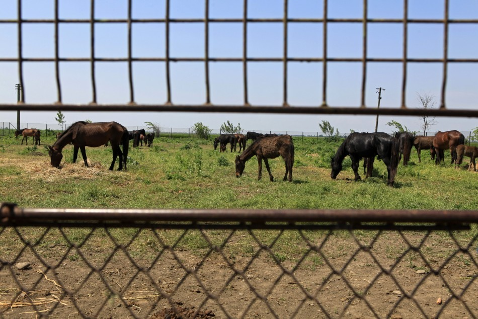 Horses waiting for slaughter