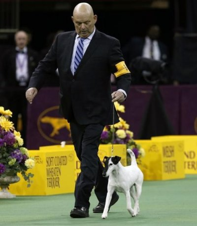 Handler Edward Boyes walks Adam, a Smooth Fox Terrier, during competition in the Terrier Group at the 137th Westminster Kennel Club Dog Show at Madison Square Garden in New York, February 12, 2013. Adam won the Terrier Group and advances to the Best in Sh