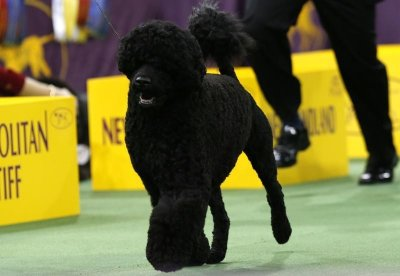 Matisse, a Portuguese Water dog, runs with a handler during competition in the Working Group at the 137th Westminster Kennel Club Dog Show at Madison Square Garden in New York, February 12, 2013. Matisse won the Working Group and advances to the Best in S