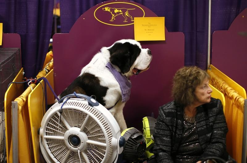 Aristocrat, a St. Bernard from Hopewell, New Jersey, sits with a fan blowing on him as he waits with his owner Linda Baker in the benching area prior to judging in the Working Group at the 137th Westminster Kennel Club Dog Show at Madison Square Garden in
