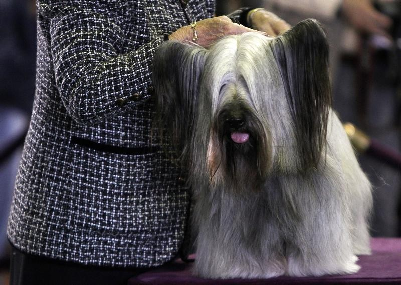 A Skye Terrier is judged during the 137th Westminster Kennel Club Dog Show in New York, February 12, 2013.