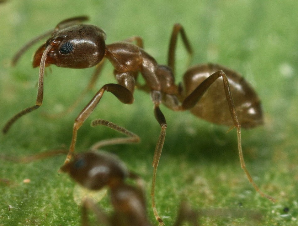 Asian needle ants