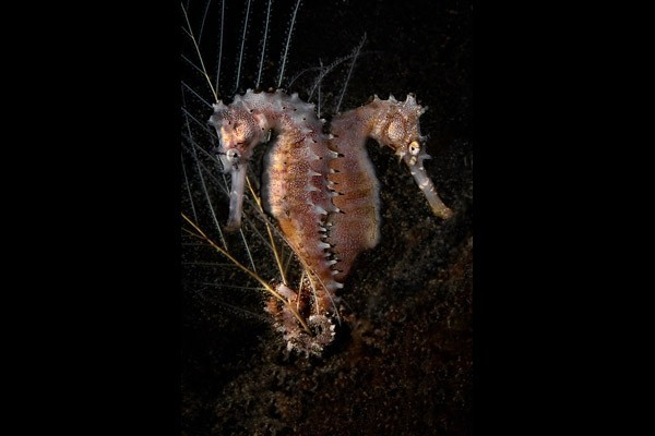 Facing habitat loss due to fishing and trawling in the wild, seahorses are increasingly threatened and breeding programmes are important