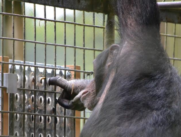 Phil the Chimp