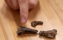 Baby ornithopod bones