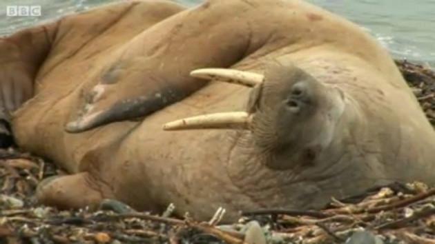Orkney walrus PIC: BBC