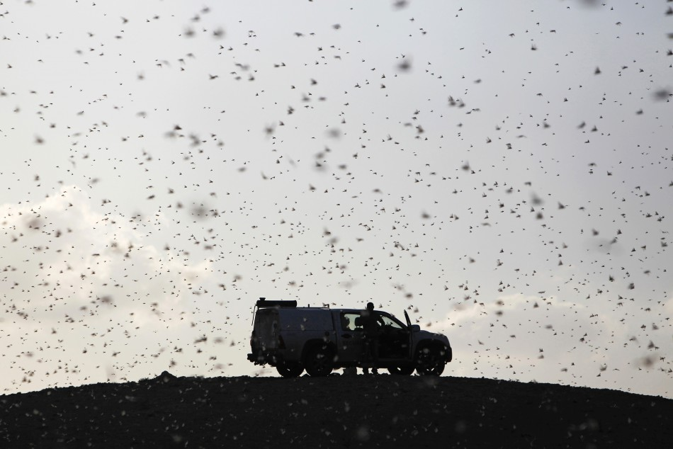 Locusts fly near a car belonging to experts as they map the swarms of locusts near Kmehin in Israel's Negev desert March 5, 2013
