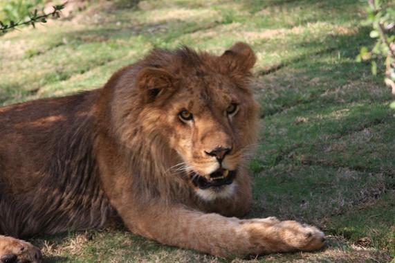 Cous Cous, the Lion