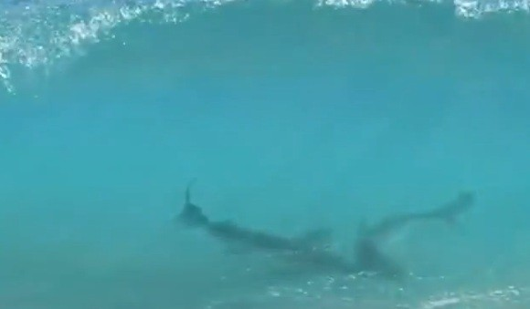 Two sharks up close in Florida