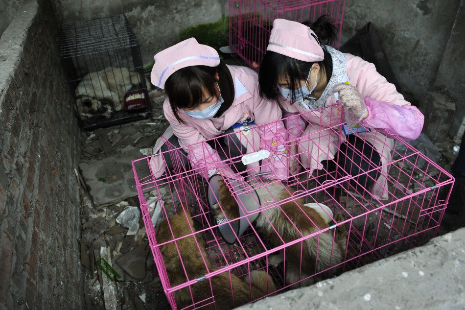 Volunteers give treatment to dogs after rescuing them at a disused pig farm in Chongqing municipality, January 17, 2012.