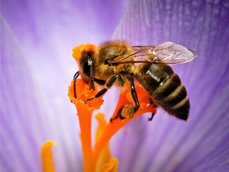 The venom from a bee may be utilised in the prevention of HIV. (wallpapersus.com)