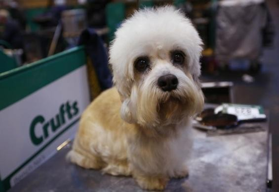 Around 5,000 dogs have been battling it out at Crufts for the top two places in Sunday's prestigious Best in Show final, and also in the Toy and Utility groups