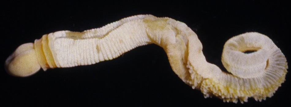 Spartobranchus tenuis