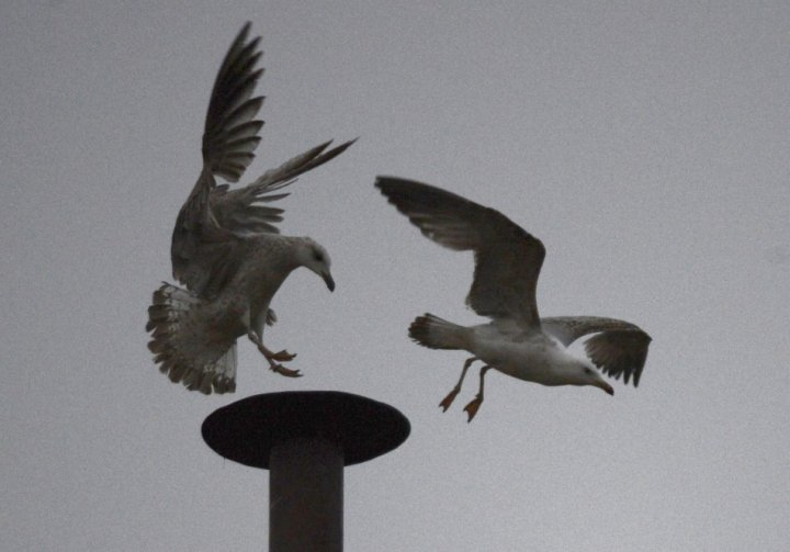 seagull Vatican