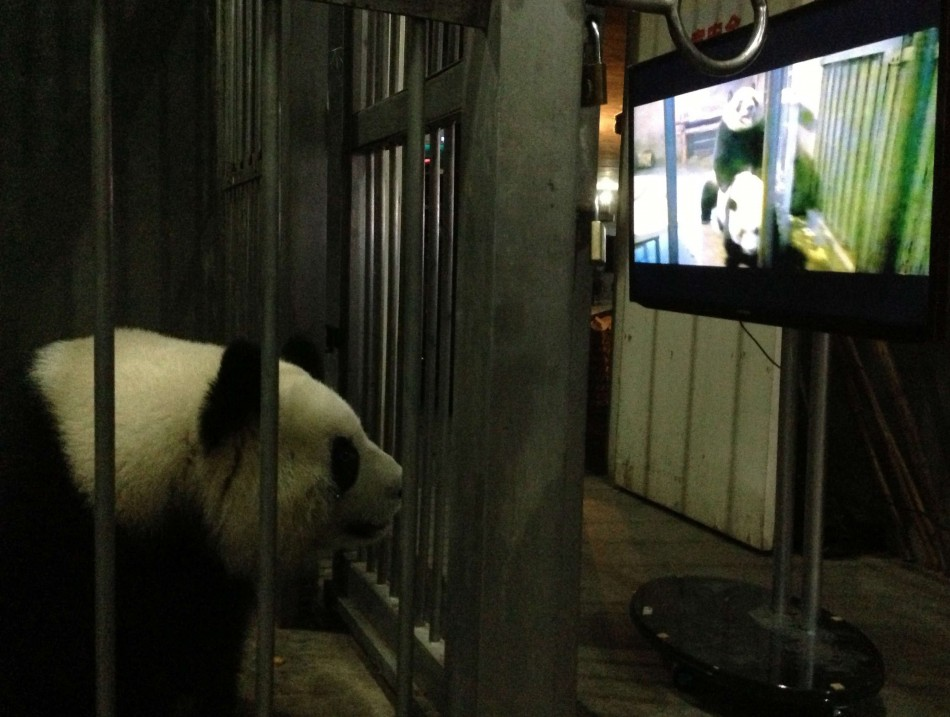 Panda porn for Ke Lin to stimulate birth rate