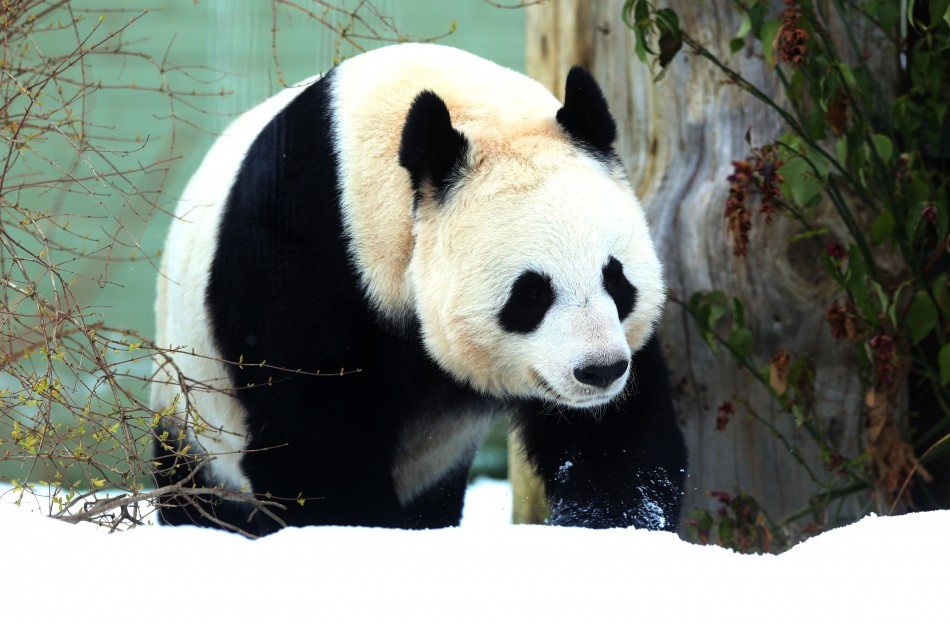 Panda on the prowl for a mate
