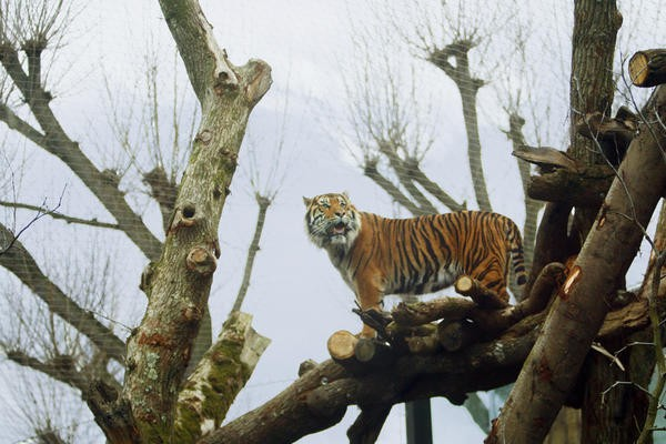 Tiger Territory is the tallest tiger enclosure in the whole of the UK