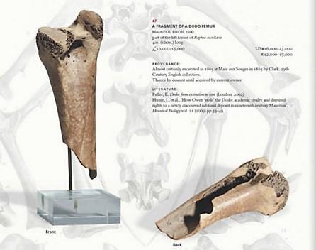 Dodo femur bone