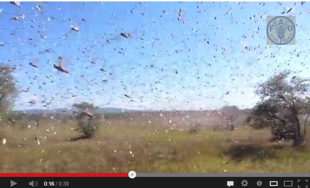 Locusts Plague in Madagascar