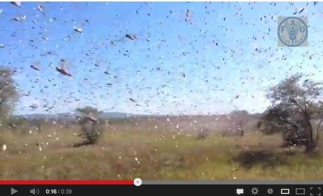 Locusts Plague in Madagascar