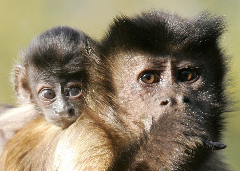 Justin Bieber's pet, Mally, is believed to be a Capucin monkey