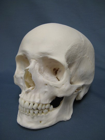Human Skull: Males to be extinct in five million years