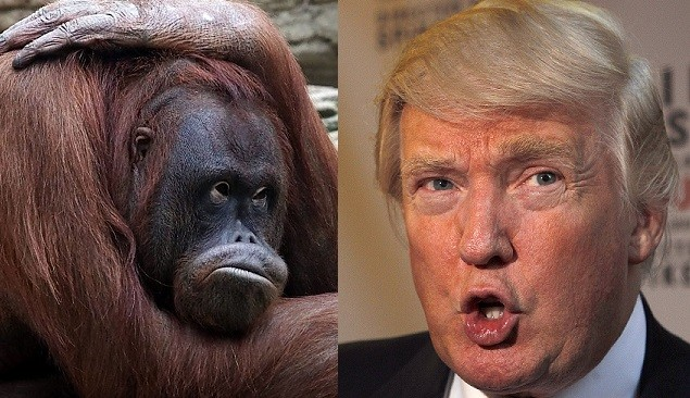Donald Trump has succesfully proven that his father was not an orangutan (Reuters)