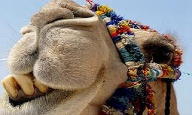 Camel, alive