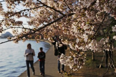 People walk under cherry blossoms along the Tidal Basin in Washington, April 7, 2013. Washingtons celebrated cherry trees, which have been slow to bloom in 2013 due to a colder-than-normal springtime, originated as a gift of friendship from the peop