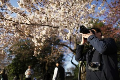 A man takes pictures of cherry blossoms along the Tidal Basin in Washington, April 7, 2013. Washingtons celebrated cherry trees, which have been slow to bloom in 2013 due to a colder-than-normal springtime, originated as a gift of friendship from th