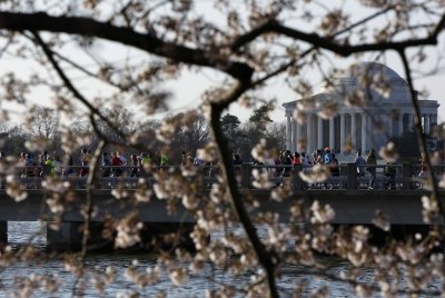 Runners cross a bridge near the Thomas Jefferson Memorial during the annual Cherry Blossom Ten Mile Run at the Tidal Basin in Washington, April 7, 2013. Washingtons celebrated cherry trees, which have been slow to bloom in 2013 due to a colder-than-