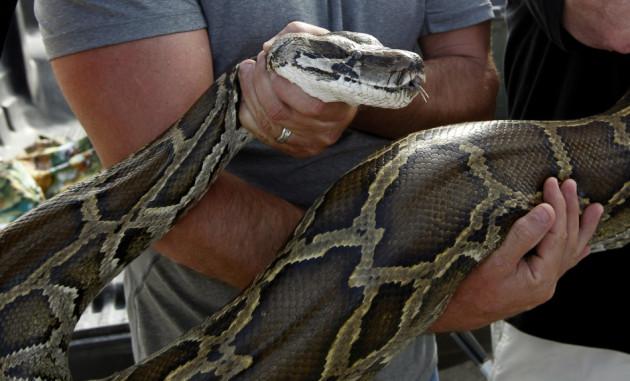 Florida Tour Guide Kills Burmese Python