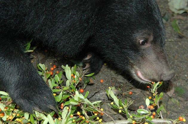 Asiatic Black Bear [For Representative Purposes]