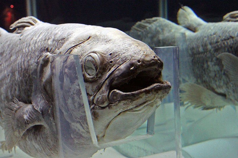 T39535 Plongee Avec Le Colacanthe Poisson Legendaire moreover 5210778 moreover Minecraft in addition Fossils 981025 07 together with Ca Coelacanth And Associates. on coelacanth