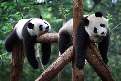 Edinburgh Zoo's giant pandas