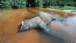 Forest elephant killed by poachers for tusks, Dzanga-Ndoki National Park