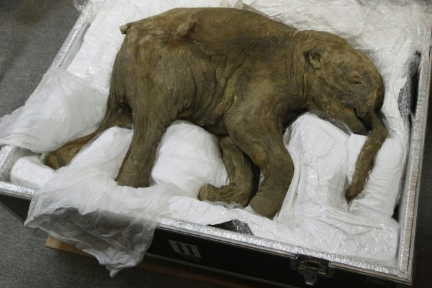 The carcass of a well-preserved baby mammoth, named Lyuba, is seen during a media preview in Hong Kong, 2012 (Reuters)