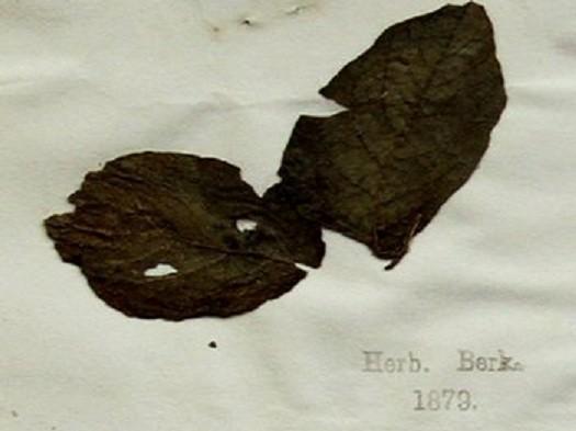 Potato leaf from famine era at Kew Botanical Gardens