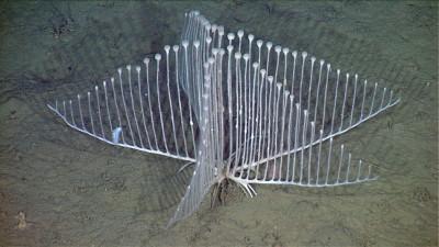 Lyre Sponge