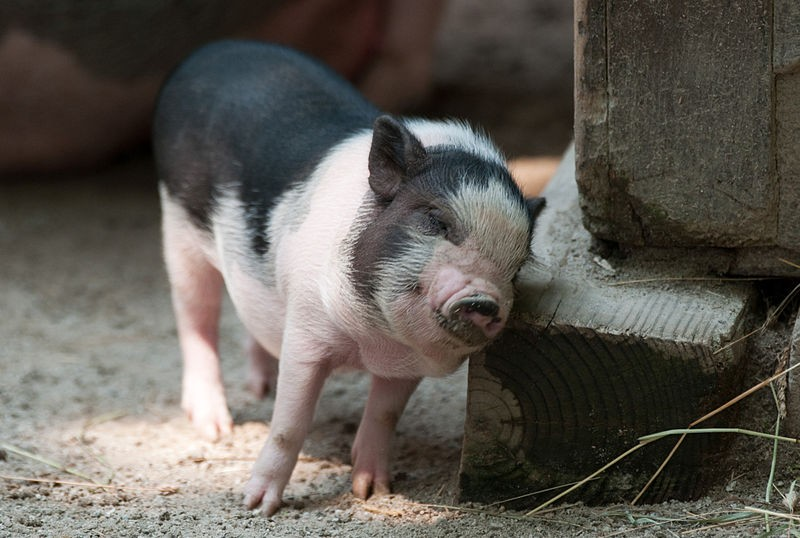 Itchy piglet