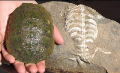 A living South African sideneck turtle (Pelusios niger) next to its 260 million year old relative, Eunotosaurus africanus.