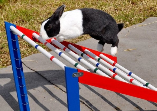 Doing the bunny hop. Rabbit showjumping is becoming an increasingly popular sport in Europe. (Rabbit Jumping UK)