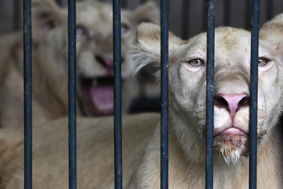 Albino lions