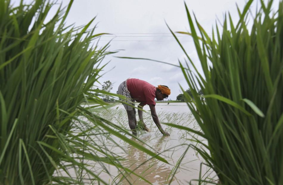Rice plantation India