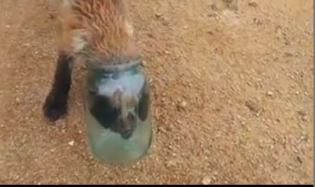 The fox cub with its head stuck in the jar