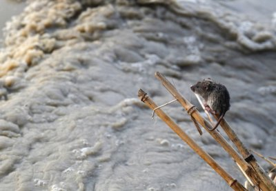 A stranded mouse rests on a stick next to the rising waters of river Yamuna in New Delhi June 19, 2013.